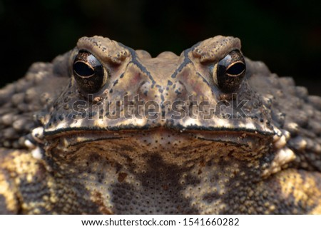 Macro close-up Thai toad.Front view.Thailand. Big bony headed toad or Spadefoot frog or Buffalo toad. Amphibian animal closeup. Toad Asian brown on black background. #1541660282