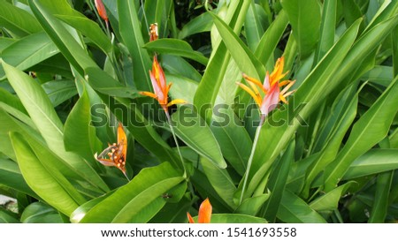 Bird of Paradise  Or bird of paradise  Is a herbaceous plant species from abroad  Is the same type of wood as Canna  Propagated by sprouting like the ginger family, galangal #1541693558