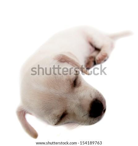 Chihuahua puppy. #154189763