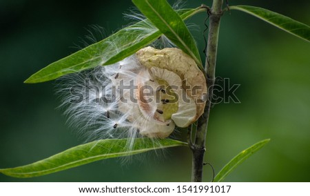 Balloon Plant is a member of the milkweed family best noted for its soft, spherical, large, lime-green seed pods.  #1541991017