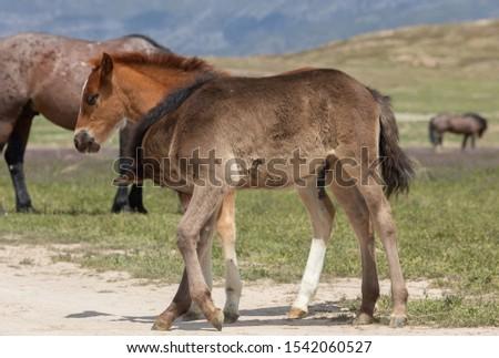 Pair of Wild Horse Foals in Utah in Spring #1542060527
