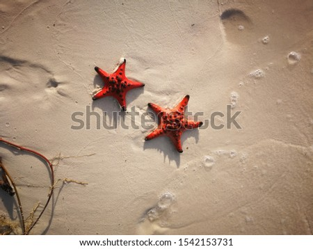 Two red large starfish found on starfish beach in southern Vietnam, Phu Quoc. Remarkable clear picture of the beauty of nature seen while traveling the remote beaches