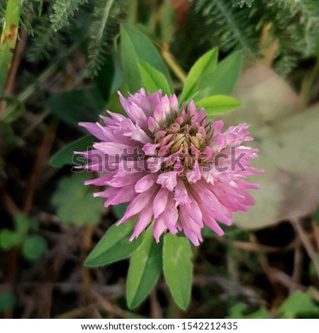 Macro photo of nature plant flower clover. Background texture of a blooming wild flower clover. Image of field red flower clover #1542212435
