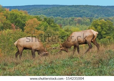 Bull Elk Sparring - Photograph taken during the rut in Elk County, Elk State Forest, Benezette, Pennsylvania
