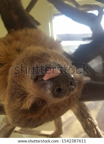 this was a picture of Bart the sloth at a refuge in Arizona.