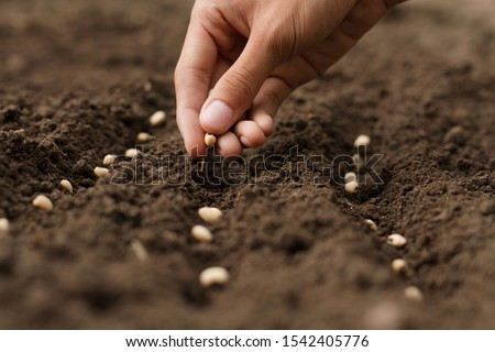Hand growing seeds of vegetable on sowing soil at garden metaphor gardening, agriculture concept. Royalty-Free Stock Photo #1542405776