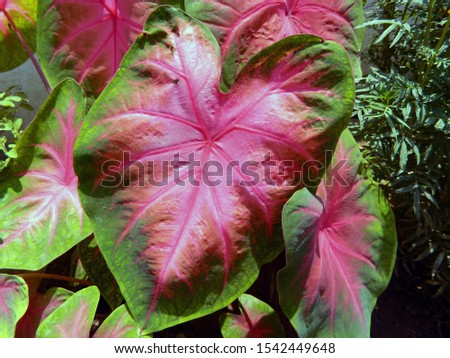 Colourful leaves of a special species of Aram, a vegetable. But it is not edible, only for decoration of interiors and outdoor as well. #1542449648