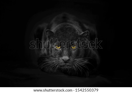 Beautiful black panter portrait on dark background Royalty-Free Stock Photo #1542550379