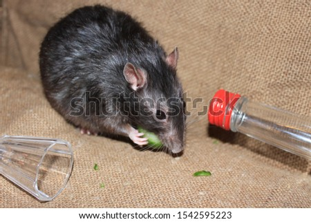 The rat is eating a piece of cucumber. Nearby lies a wineglass and a bottle. #1542595223