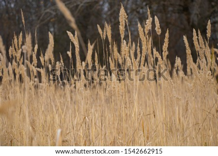 Selective soft focus of dry grass, reeds, stems blowing in the wind #1542662915