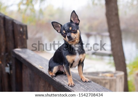 Pet dog Chihuahua walks on the street. Chihuahua dog for a walk. Chihuahua black, brown and white. Cute puppy early in the morning on a walk. Dog in the autumn walks in the garden or in the park #1542708434