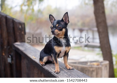 Pet dog Chihuahua walks on the street. Chihuahua dog for a walk. Chihuahua black, brown and white. Cute puppy early in the morning on a walk. Dog in the autumn walks in the garden or in the park