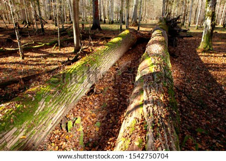 Old Oaks in Bialowieza National Park. Two huge oak trees with roots lie on the ground. The trunks are covered with moss and mushrooms. Around the fallen autumn leaves. October. Poland. #1542750704