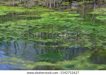 Two frogs in swamp, pond of murky water, full of green algae, animal wildlife. Frogs is womming and jumping in wild nature. Large frogs basking in the sun on a summer day. #1542752627