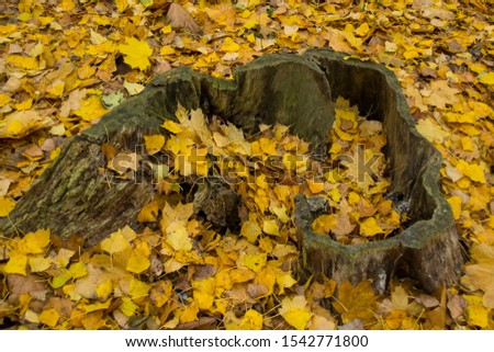 old stump in yellow leaves #1542771800