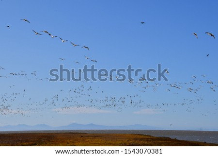 A picture of a lot of Snow Goose flying through the sky at once, and covering the sky. Richmond BC Canada