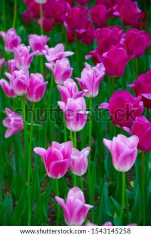 pink-and-white tulips in full bloom at hitachinaka seaside park in ibaraki, japan,