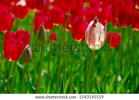 white tulip in the middle of red tulips, all in full bloom at hitachinaka seaside park in ibaraki, japan - horizontal closeup photo