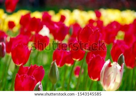 red tulips in full bloom at hitachinaka seaside park in ibaraki, japan - horizontal closeup photo