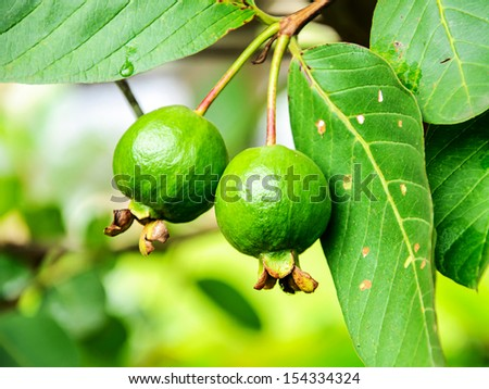 Guava fruit on the tree (Psidium guajava)  #154334324