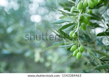 Olive bunch with green young olives on blurred background. Green olives on olive tree. Bunch with olive fruits. Copy space for text. Natural olives and olive oil theme. #1543384463