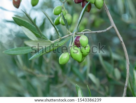 Olive branch with young olives on blurred background. Green olives on olive tree. Branch with olive fruits. Copy space for text. Natural extra virgin olive oil concept.  #1543386239