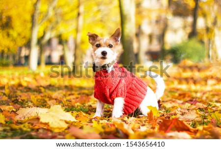 Funny dog Jack Russell Terrier sitting in the leaves in the park on a fall day. An animal in a sweater, on the street in a square. Autumn mood. Dog parson terrier plays in maple red and yellow leaves. #1543656410