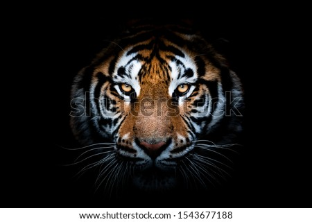 Portrait of a Tiger with a black background Royalty-Free Stock Photo #1543677188