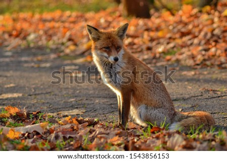 Fox in autumn scenery met on the journey. #1543856153