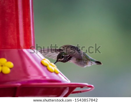 A calliope hummingbird flies from a tree to a hummingbird feeder.  Photo taken in Idaho.