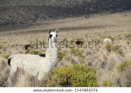 A curious alpaca staring at us while grazing near the base of Sajama volcano, the highest peak in Bolivia and a dormant volcano. This picture was taken in May 2017