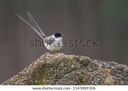 Fork-tailed flycatcher (Tyrannus savana) standing on a rock displaying its long tail feathers.  #1543889306