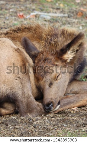 Real deer asleep on ground in forest.  Closeup   #1543895903