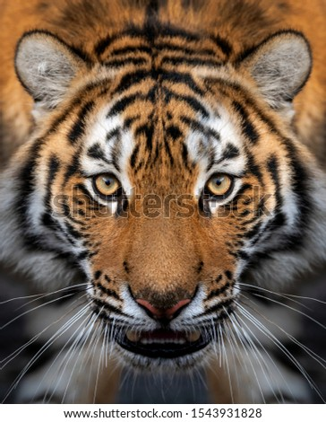 Close up view portrait of a Siberian tiger (Panthera tigris altaica) #1543931828