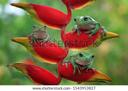 Australian white tree frog on leaves, dumpy frog on branch, animal closeup, amphibian closeup #1543953827