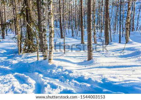 Great frosty morning in the winter forest. Long shadows cross deep snow drifts. The snow-covered coniferous forest. Lapland. The concept of extreme and active tourism