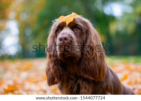 Adorable young brown Sussex Spaniel posing in a park #1544077724