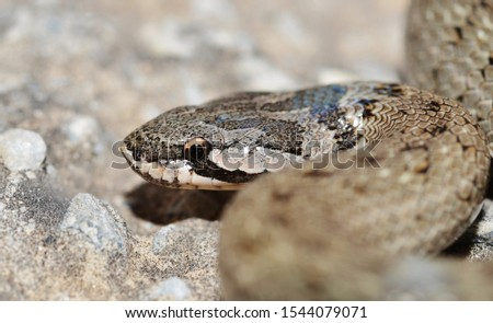 False Smooth Snake ( Macroprotodon cucullatus ) in Spain #1544079071