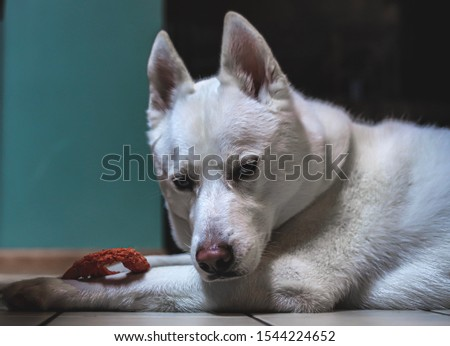 White Siberian husky dog pet showing visible lack of interest in his chew toy, the day, and getting his picture taken for the 99th time.