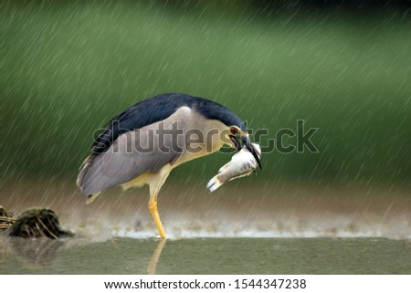 The Black-crowned Night Heron (Nycticorax nycticorax), Common Night Heron with green background. Night heron with the fish standing in a rain shower in shallow water. Fishing heron in the rain. #1544347238