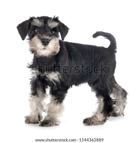 puppy miniature schnauzer in front of white background #1544362889