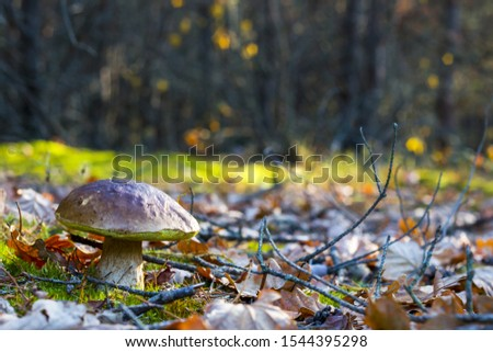 Big porcini mushroom grows in nature. Autumn mushrooms grow in forest. Natural raw food growing. Edible cep, vegetarian natural organic meal #1544395298