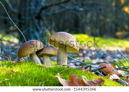 Three mushrooms grows in nature. Autumn mushroom grow in forest. Natural raw food growing. Edible cep, vegetarian natural organic meal #1544395346