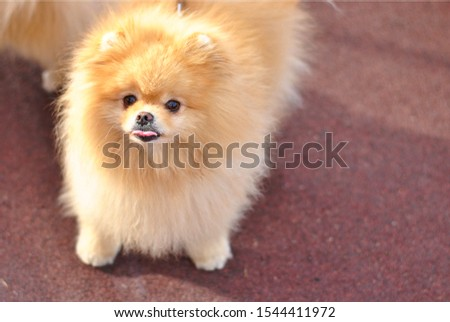 Little fluffy cute Pomeranian spitz puppy outside in the sunshines on the walk show tongue. cream beige ginger foxy sunny sun dog-spitz with brown kind eyes pet. Dog breeding. Love animals friendship #1544411972