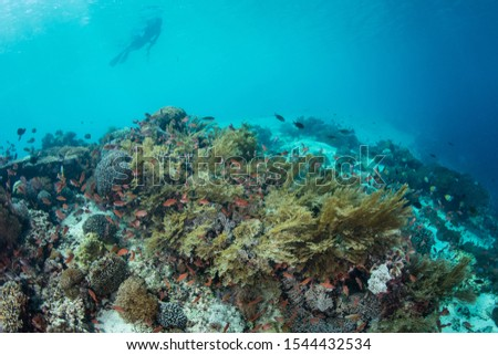 A snorkeler explores a beautiful coral reef near Alor, Indonesia. This region receives strong currents which bring planktonic food to the vibrant fish and corals that live here. #1544432534