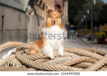 Sable white shetland sheepdog sheltie sitting outside on city street on huge marine sailors rope. Pretty picture of small lassie, collie dog sitting on grand canal street, on big marine  hawser