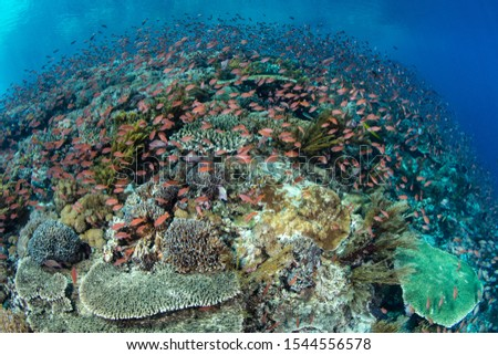 A beautiful coral reef thrives near Alor, Indonesia. This region receives strong currents which bring planktonic food to the vibrant fish and corals that live here. #1544556578