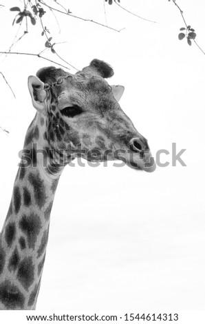 Portrait of an African giraffe #1544614313