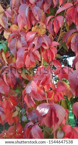 autumn, amazing color, wild grapes, garden #1544647538