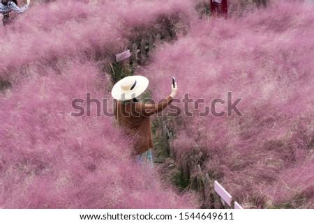 beautiful pink Hairawn muhly landscape, Republic of Korea #1544649611